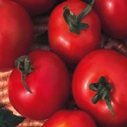 Tomato Moneymaker - 5 grams Bulk Discounts available
